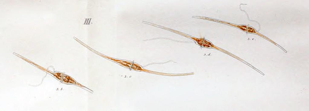 Ceratium fusus photo