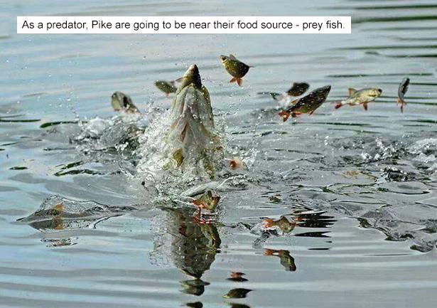 Пайк-Prey-Fish